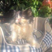 Mèo Ba tư lông xù tung bông