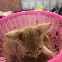 Bán 2 bé mèo ta lông vàng, được 2 tháng tuổi.